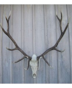 Elk Antler European Mount