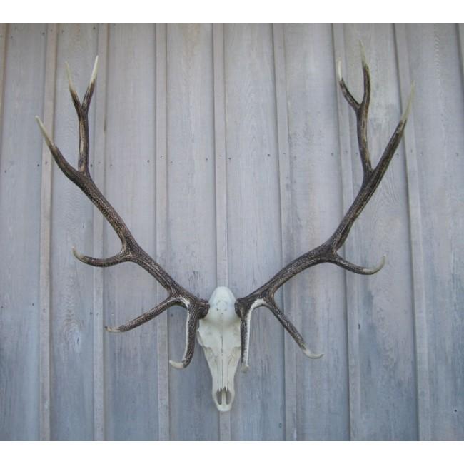 Elk Antler European Mount