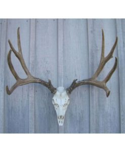 Mule Deer Antler European Mount