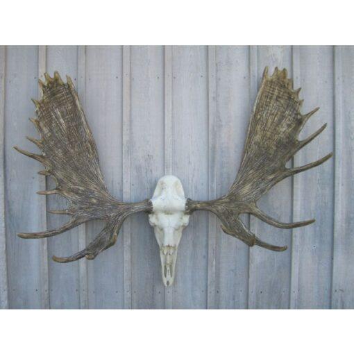 moose european mount