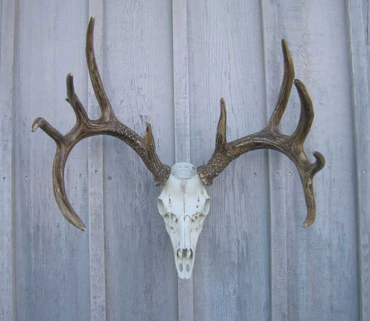Whitetail Deer Antler European Mount